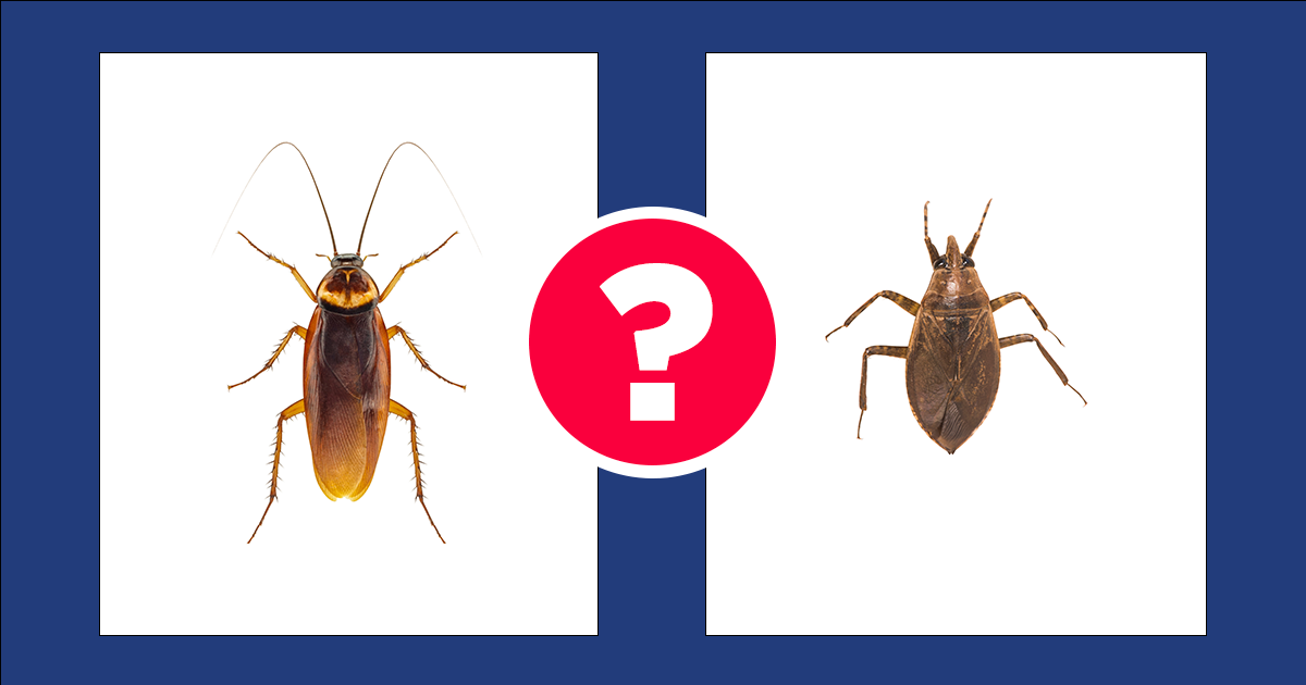 What S The Difference Between A Cockroach And A Water Bug