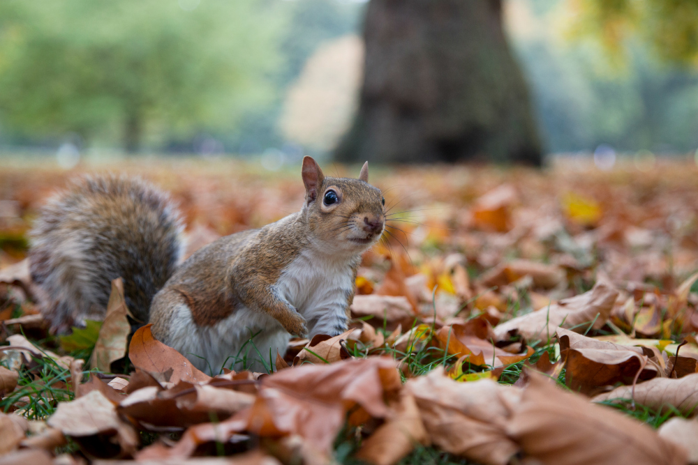 squirrel_among_leaves_reduced.jpg