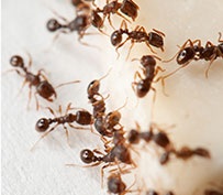 Other Pest Control Services - Fire Ants, Stinging Insects, Fleas, and Bed Bugs