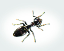 White Footed Ants How To Identify Them Prevent An Infestation