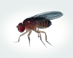 What Attracts Fruit Flies, Where They Lay Eggs & How Long