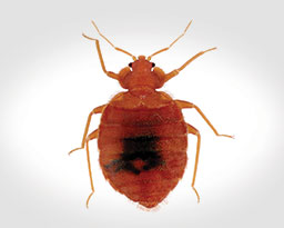 Bed Bug Control and Extermination