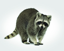 Raccoon Control: Removal and Disinfection