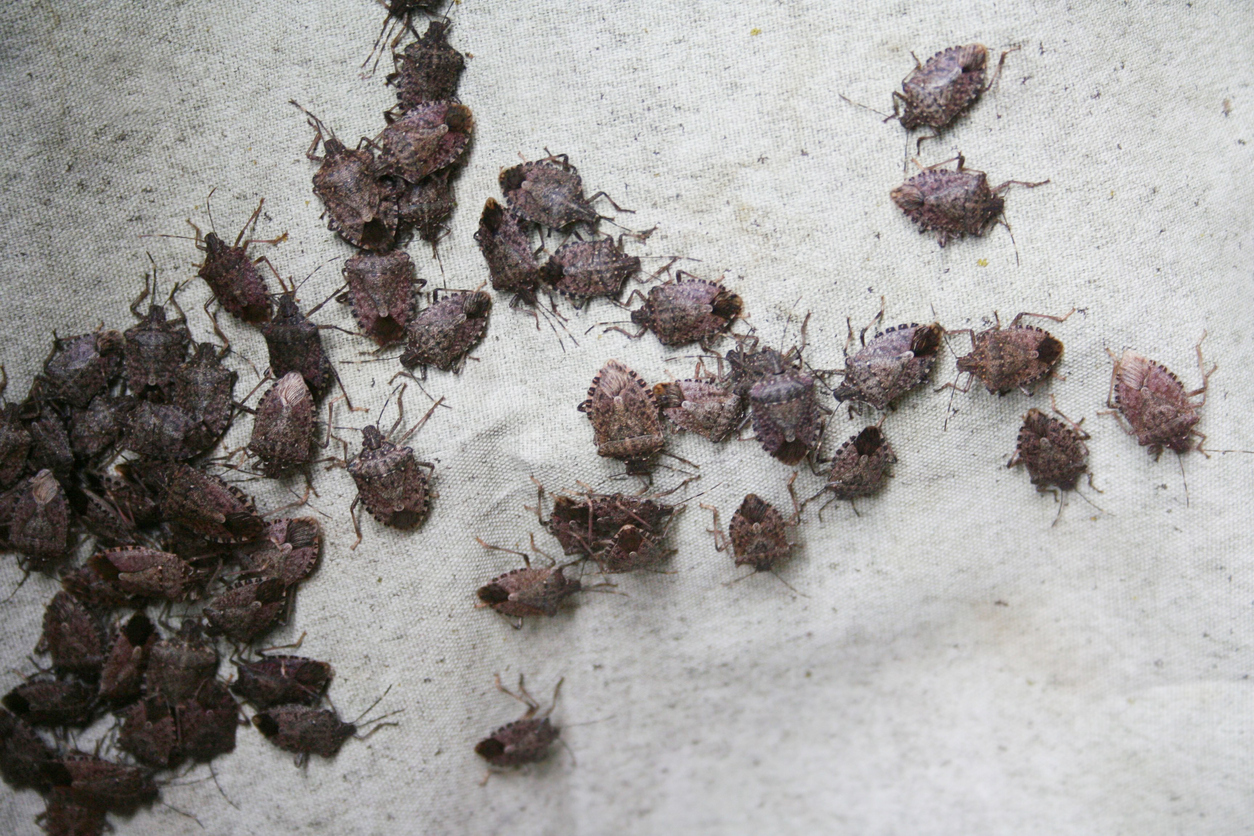 How to Prevent Stink Bugs In Your Home