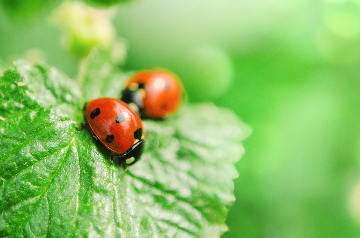 Ladybugs: Get to Know These Little Ladies