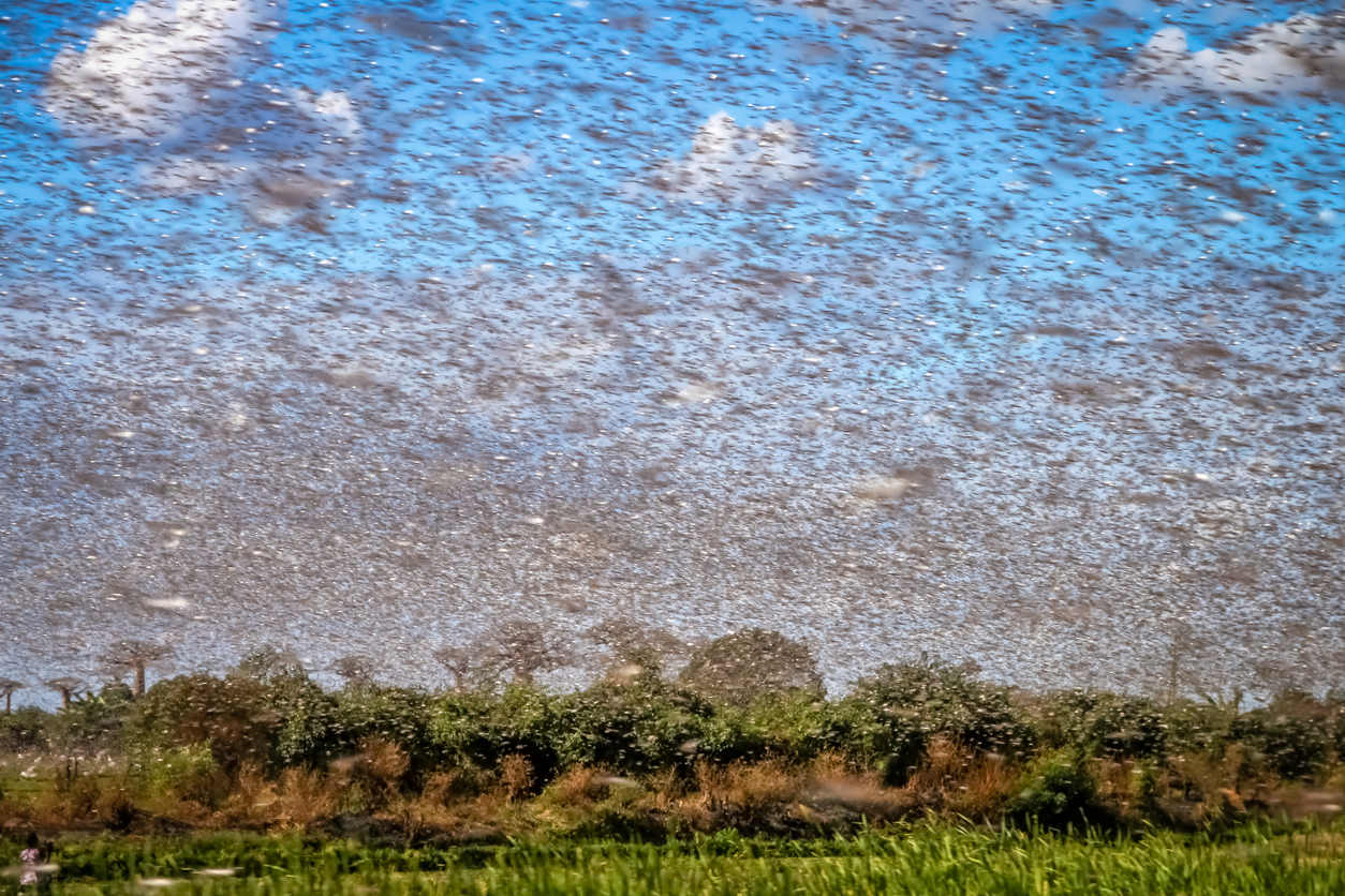 Locusts: The Bothersome Bug that Shaped America