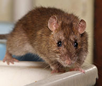 Commercial Rodent Exclusion & Control