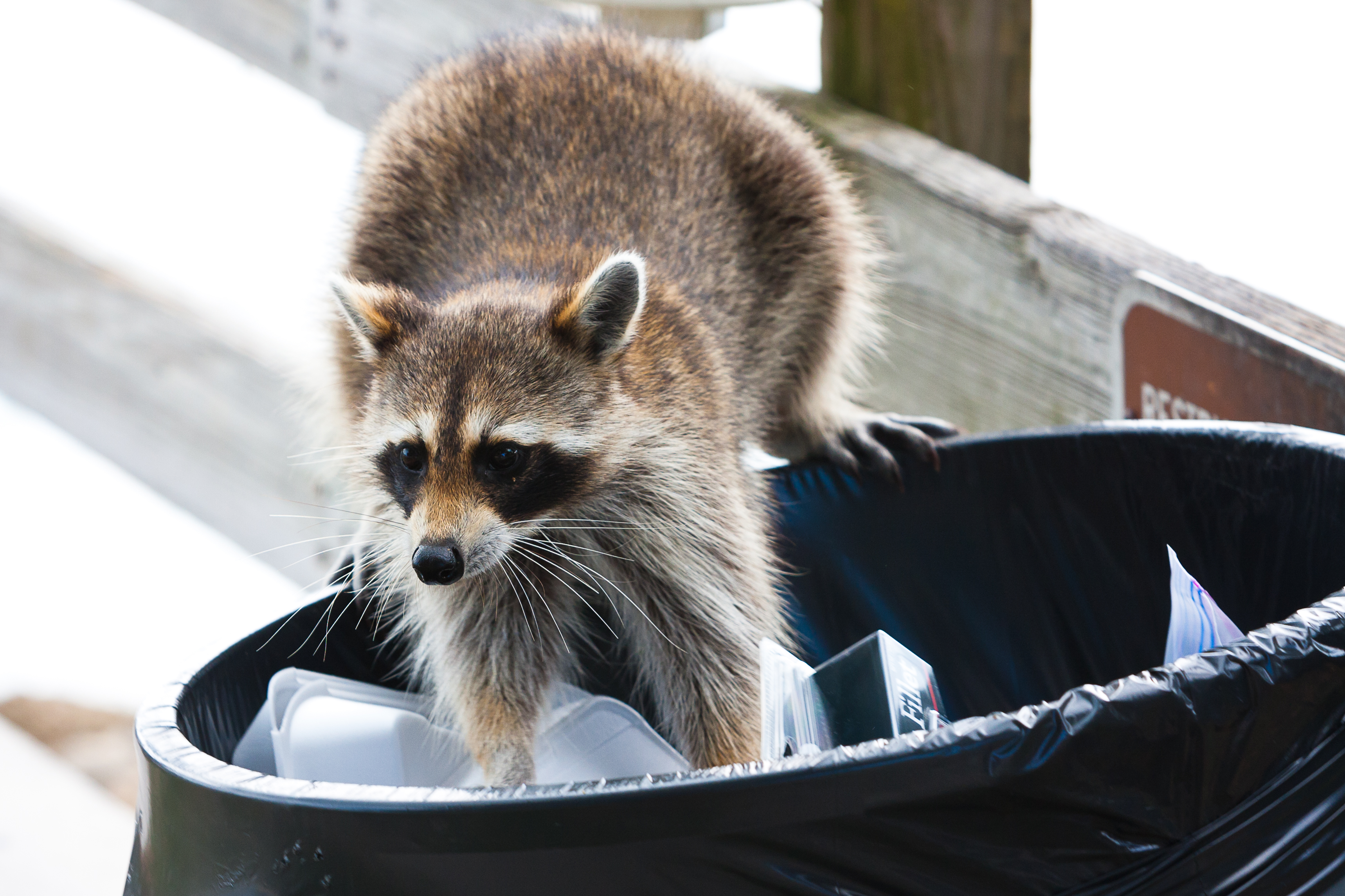 Bad Reputations: Are Raccoons All That Bad?